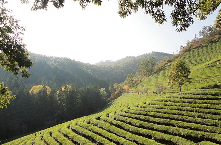 South Korea's fine teas aim to attract Western consumers