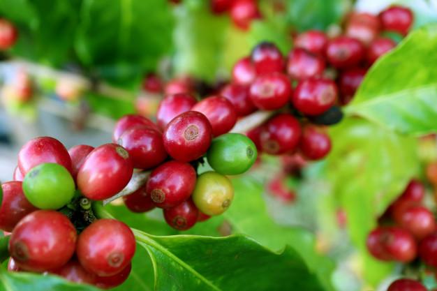 ICO Coffee Market Report - January 2019
